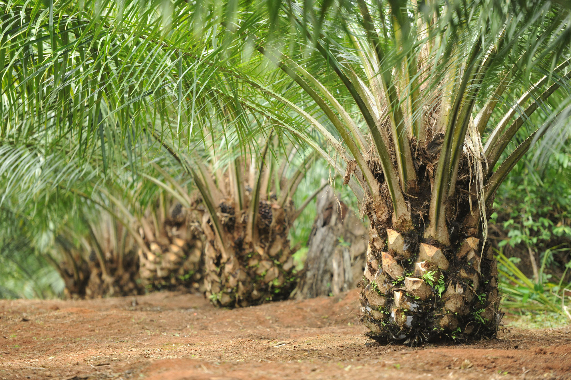 UNDP : Palm Oil Not Cause of Deforestation